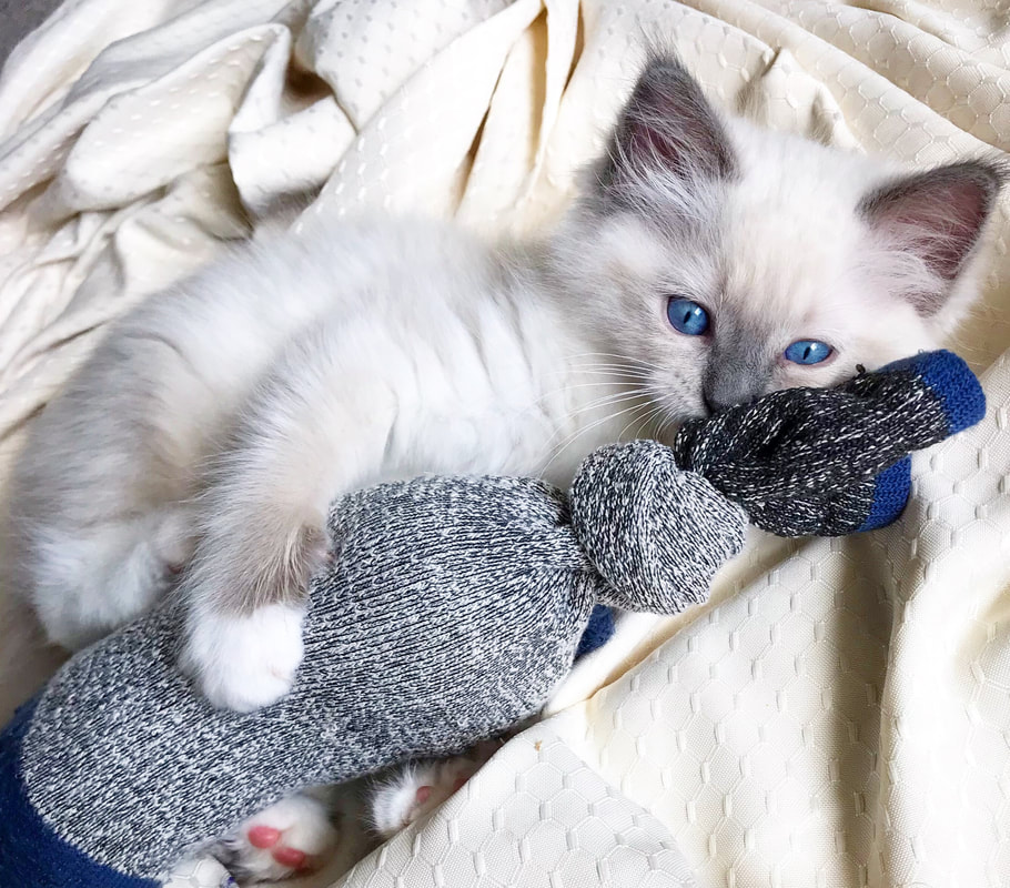 RosesRags Ragdoll Kittens Bred For Lovability - Home